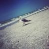 oceangull